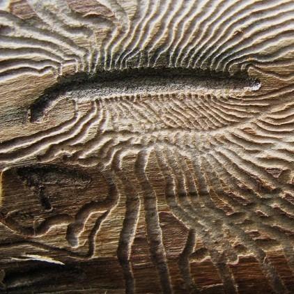 Повреждения на дереве от короеда