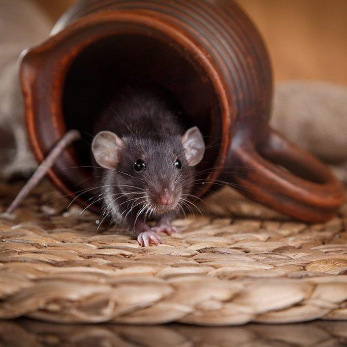 Крыса вылезает из глиняной посуды
