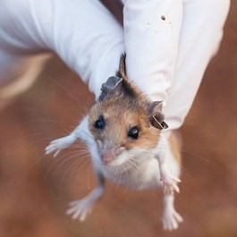 Мышка в руке с перчаткой